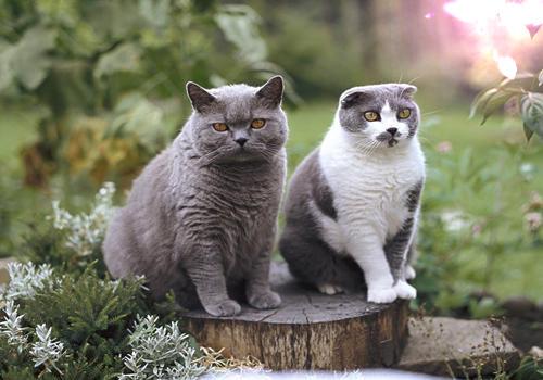 卡尔特猫的养护知识