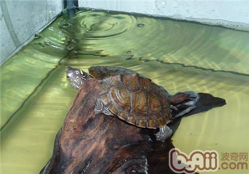 德州地图龟的饲养方法及养护重点