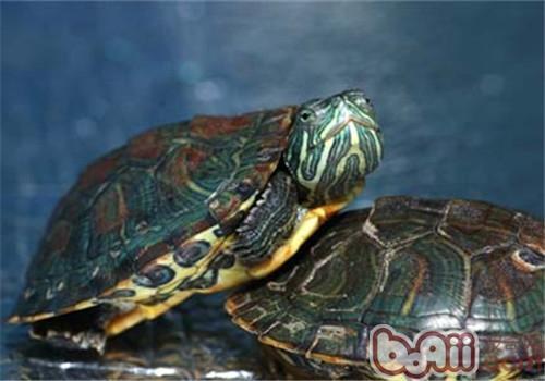 东部网目鸡龟的食物选择