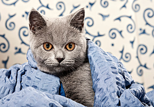 卡尔特猫的喂食要求