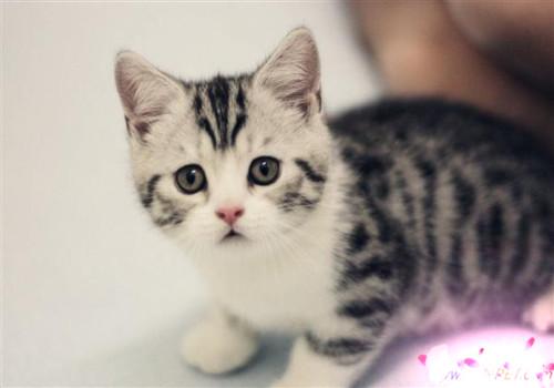 美国短尾猫的品种介绍及图片图片