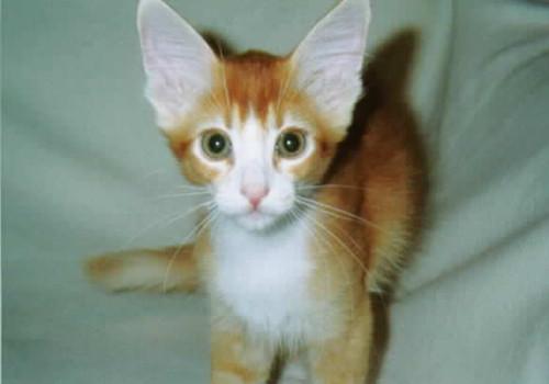 拉邦猫的性格特点