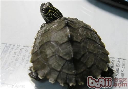 德州地图龟的品种简介
