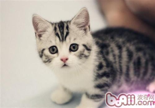 美国短毛猫的品种简介