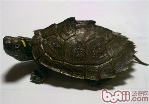 德州地图龟的环境要求