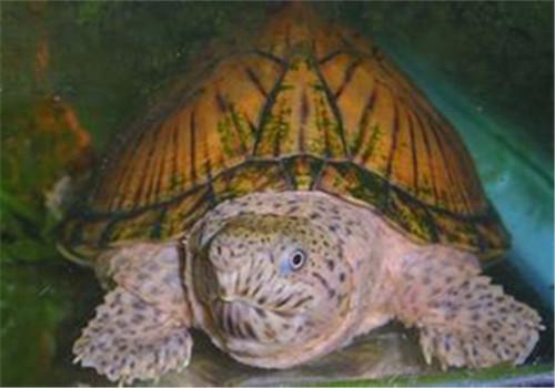 刀背麝香龟的品种简介