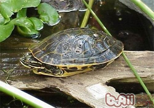 东部网目鸡龟的养护重点