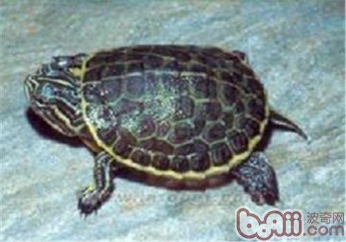 东部网目鸡龟的形态特征
