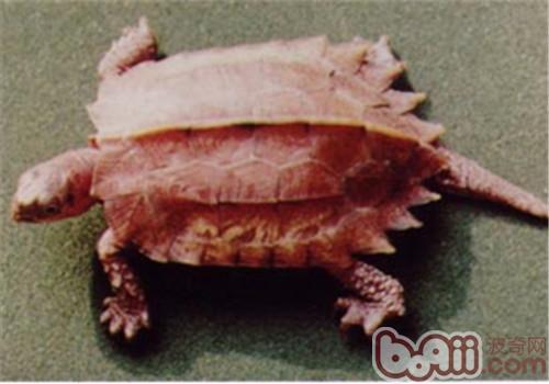 枫叶龟的形态特征