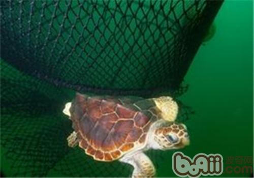 大西洋蠵龟的形态特征