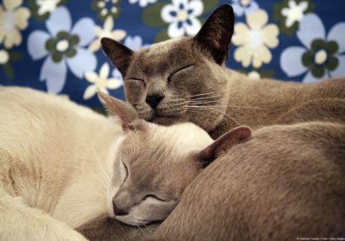 缅甸猫的形态特征