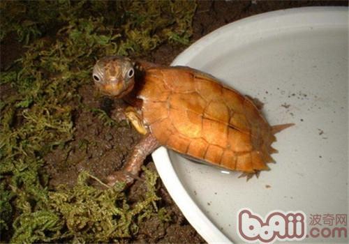 枫叶龟的养护方法
