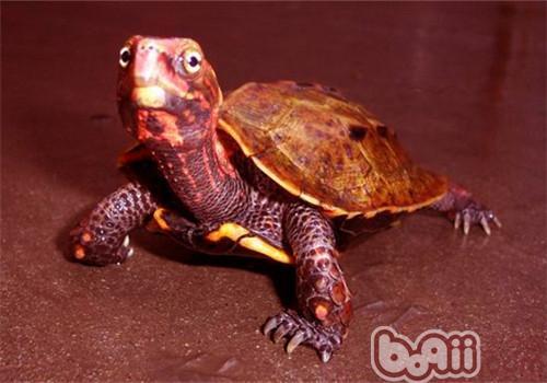 枫叶龟的喂养及食物的选择