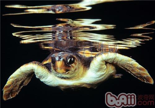 大西洋蠵龟的养护重点