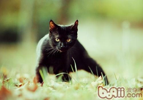 孟买猫的养护知识