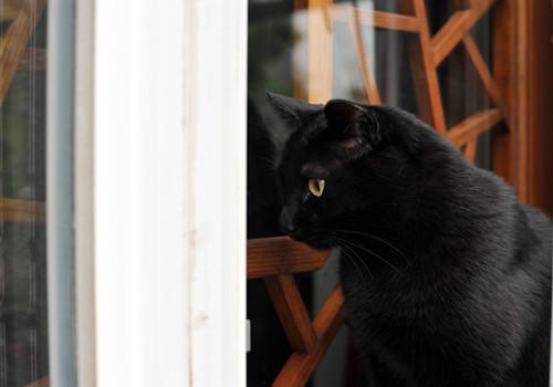孟买猫的形态特征