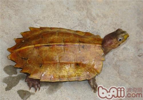 枫叶龟的环境设置管理