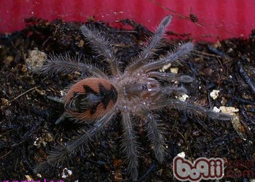 巴西粉红食鸟蛛的外形特点