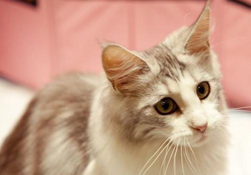 缅因猫的形态特征