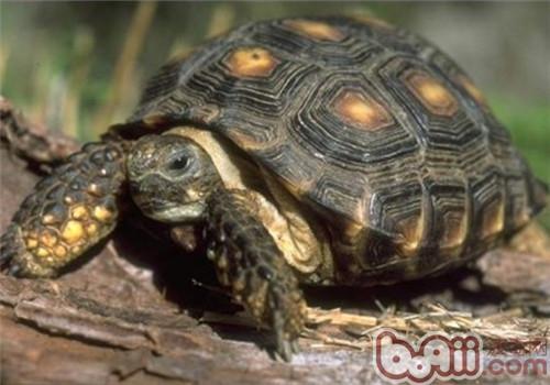 德州地鼠龟的形态特征
