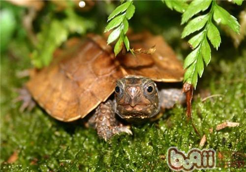 枫叶龟的品种简介