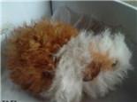 长卷毛天竺鼠的品种简介