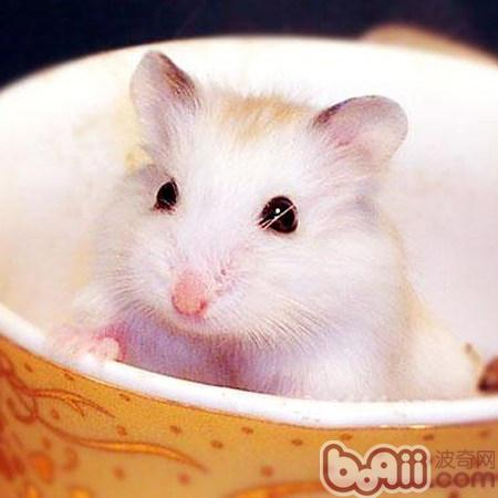 布丁仓鼠的外形特点