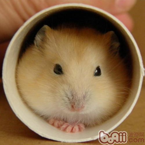 布丁仓鼠的饲养要点