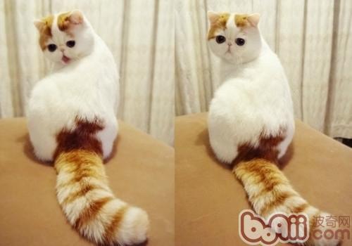 异国短毛猫(加菲猫)喂食要求