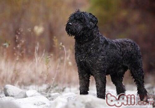 法兰德斯畜牧犬的品种简介