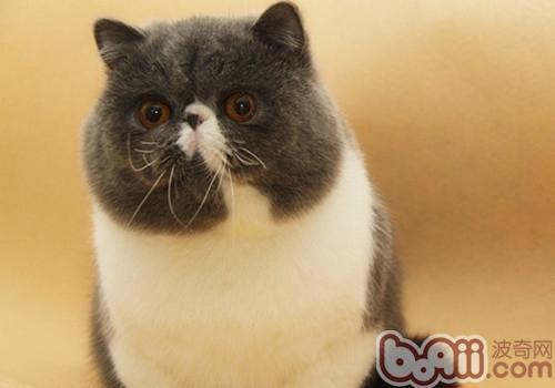 异国短毛猫(加菲猫)性格特点