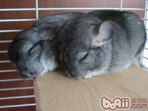 标准灰龙猫