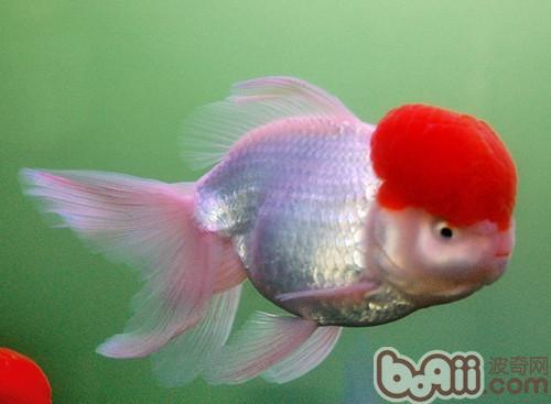 金鱼的品种简介
