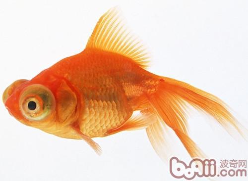 金鱼饲养的三大注意事项