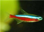 宝莲灯鱼的品种简介
