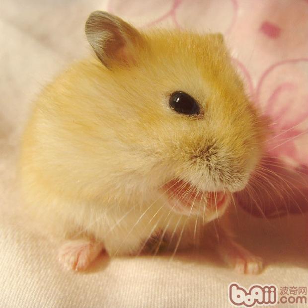 布丁仓鼠的品种简介