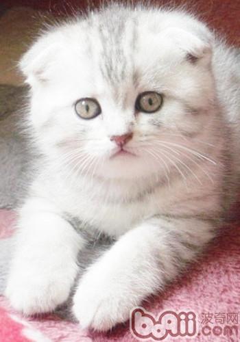 英格兰折耳猫的养护知识