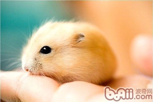 布丁仓鼠的饲养环境要求
