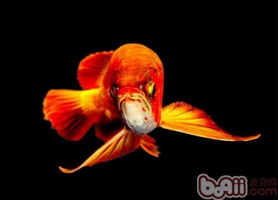 龙鱼日常饲养过程中的注意要点