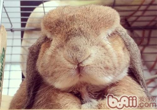 垂耳兔的养护重点