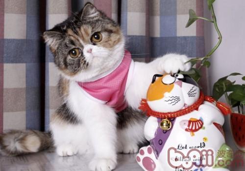 异国短毛猫(加菲猫)形态特征