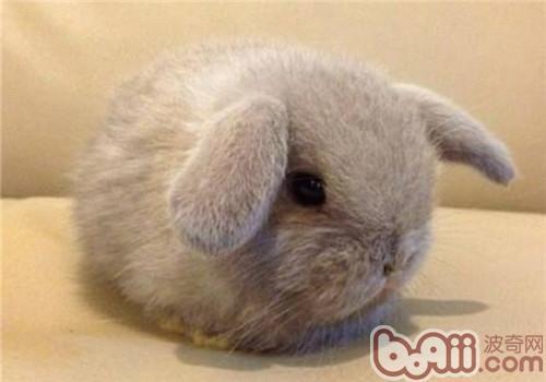 垂耳兔的食物选择及饲喂要点