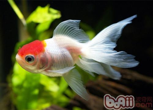金鱼的种类特征及头型简介