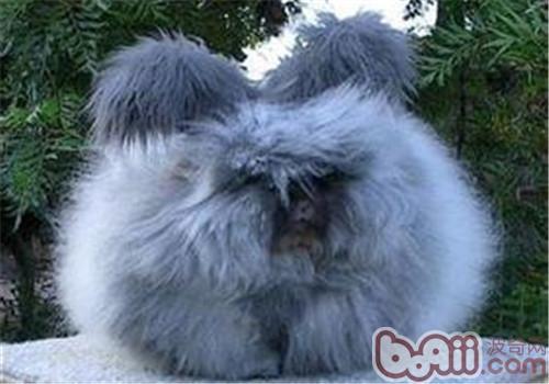 安哥拉兔的形态特征