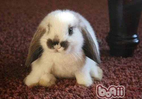 垂耳兔的形态特征