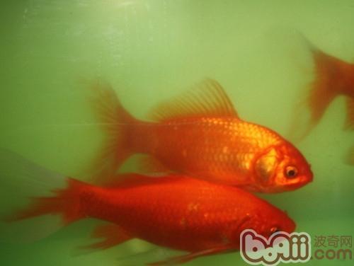 金鱼的喂食要点