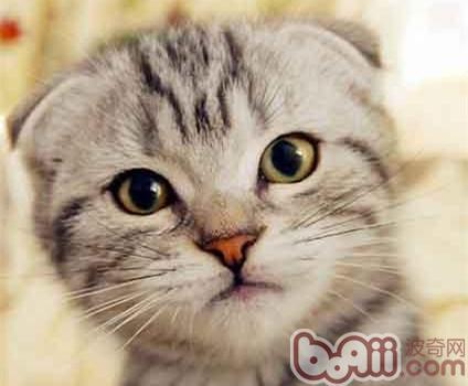苏格兰折耳猫的品种介绍