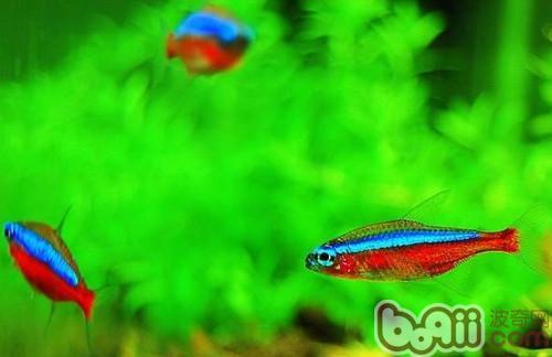 饲养宝莲灯鱼的环境要求