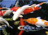 锦鲤的颜色及特征介绍