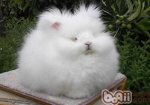 安哥拉兔的品种简介
